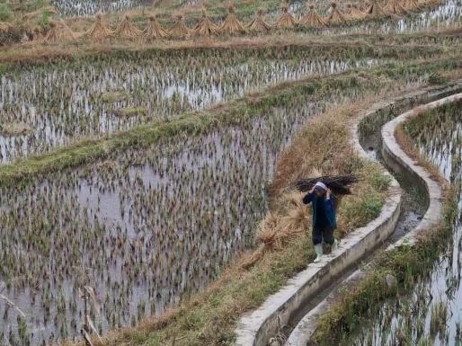 Femme dans les rizière de Pugao
