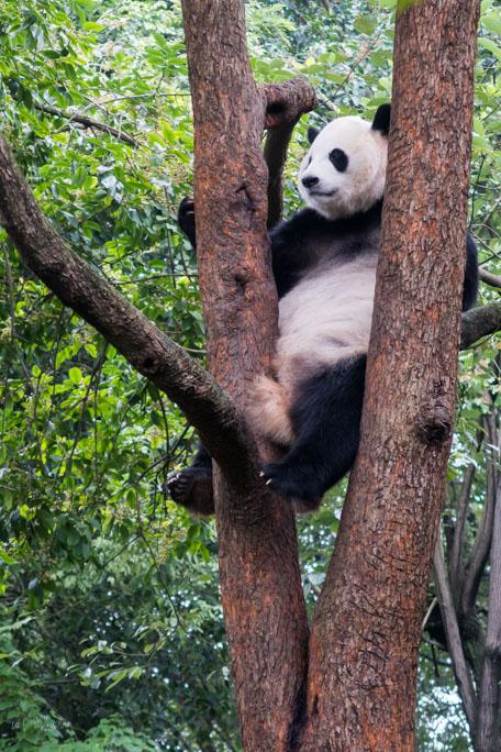 Panda géant Chengdu parc