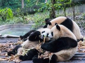 Panda géant Chengdu réserve