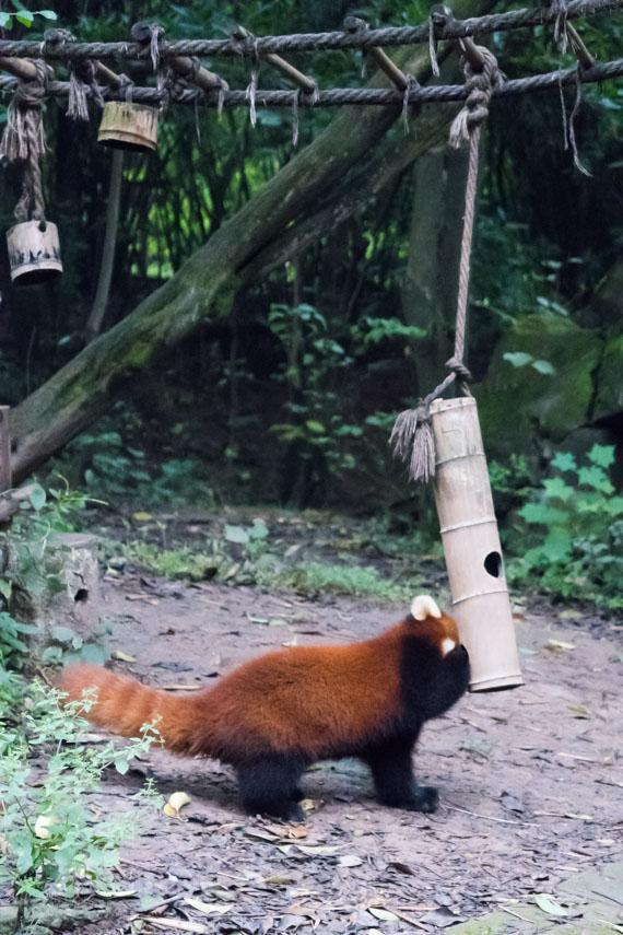 Panda roux Chengdu centre