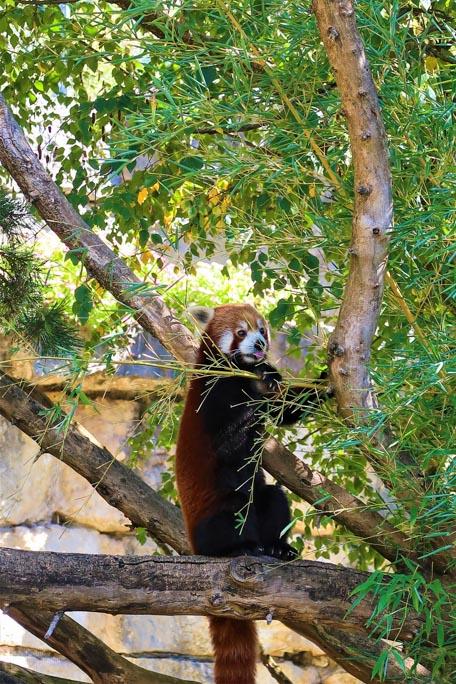 Panda roux Chengdu