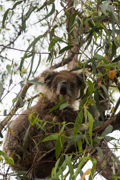 Où aller voir des koalas en Australie