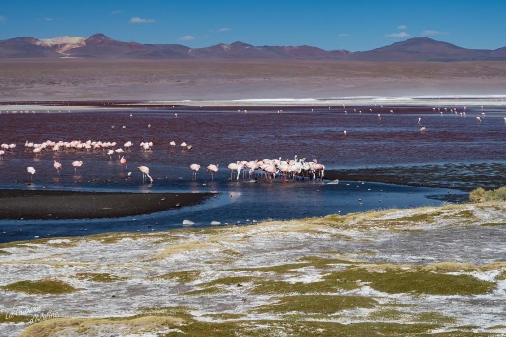 Flamants roses laguna colorada Bolivie road trip Uyuni