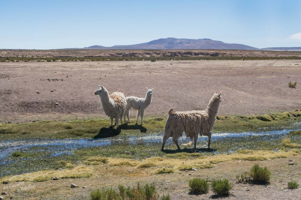 Road trip Uyuni Bolivie Lama