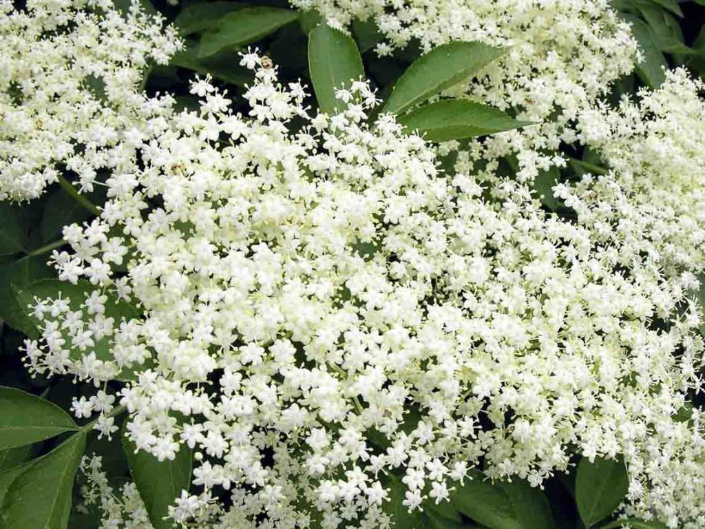 Fleurs de sureau noir comestibles