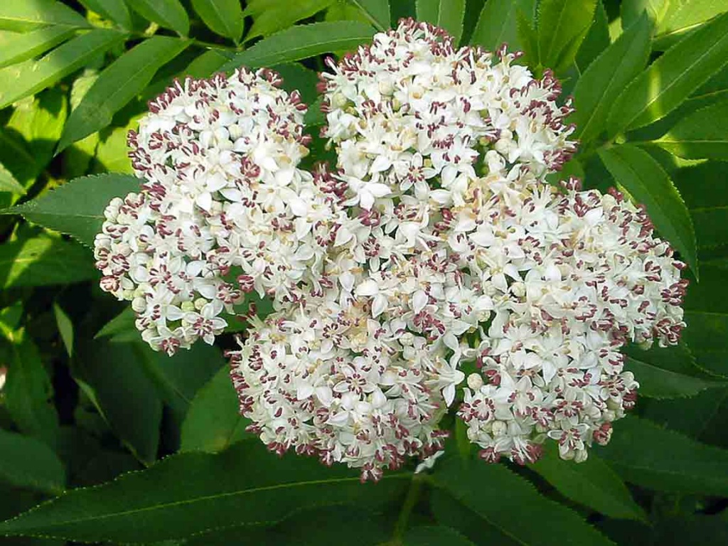 Fleurs de sureau yèble toxiques